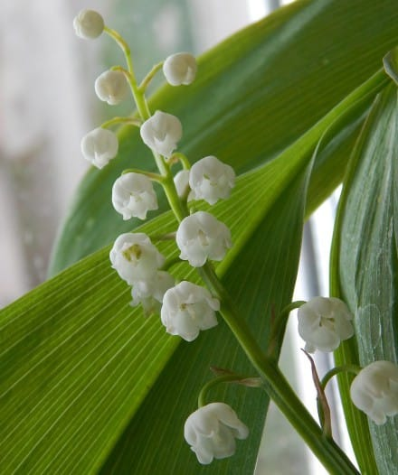 1st may in France - Lily of the valley
