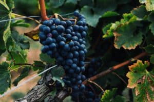 French Tradition: Les Vendanges