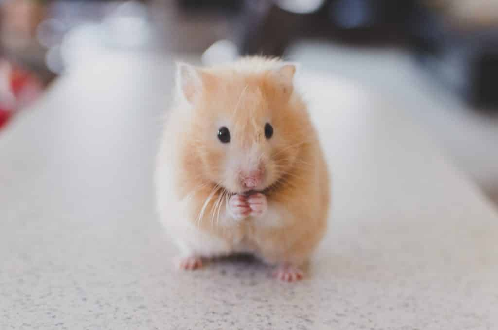Photo of a hamster