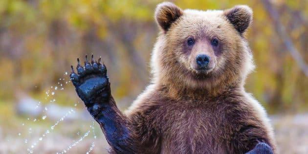 Bear-babylangues