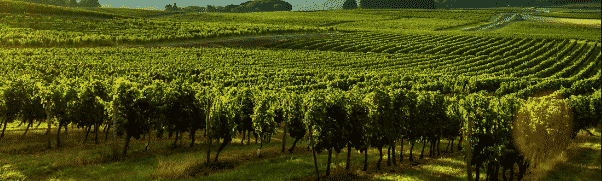 Bordeaux vinyards